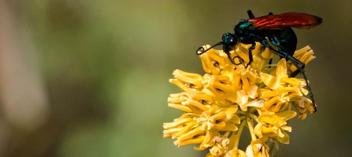 Tarantula Hawk Wasp on Yellow Flower