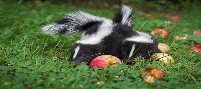 two skunks eating apples on the ground