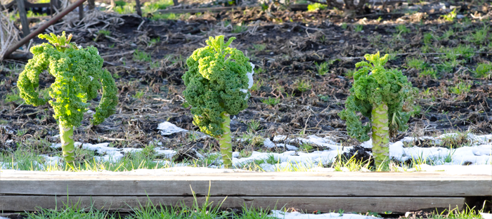 Three Kale Plants Growing in Cold Weather