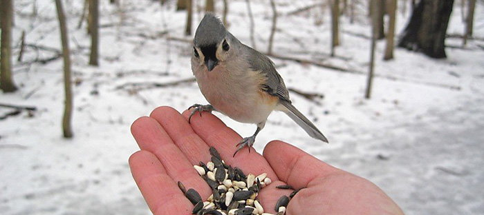 tufted titmouse eating from hand