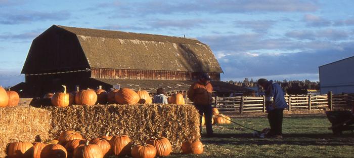 Pumpkins on Haystacks in front of a Barn