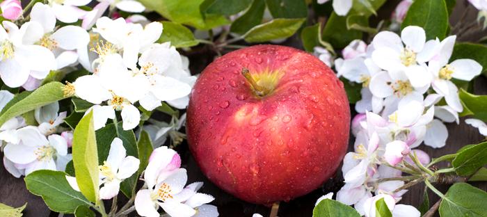 Ripe Apple on Blossoms