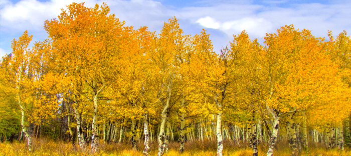 Yellow aspen leaves and white trunks