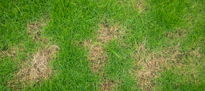 Green Lawn with Multiple Distinct Brown Patches