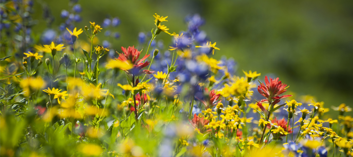 field of yellow, blue and pink wildflowers