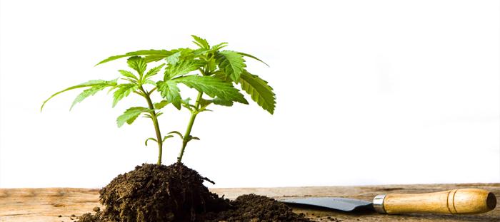 Marijuana Plant in Soil Mound with Spade