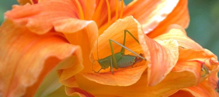 katydid in daylily