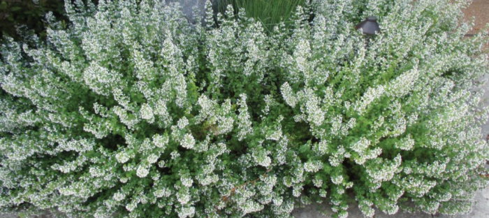 white blooming calamint