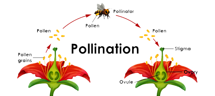 Diagram of process a Bee uses to Pollinate a plant's anatomy