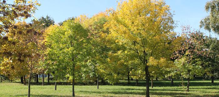 European Ash Trees