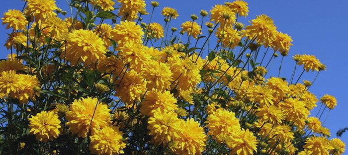 Rudbeckia laciniata 'Golden Glow'