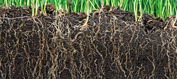 Cross Section of Roots System in Soil