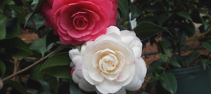 Camellia 'April Dawn'