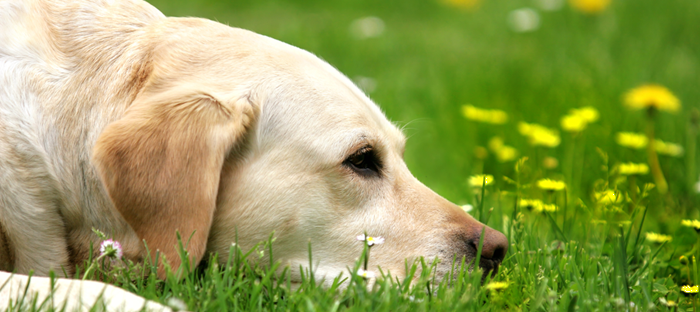 Dog laying on grass looking at flowers