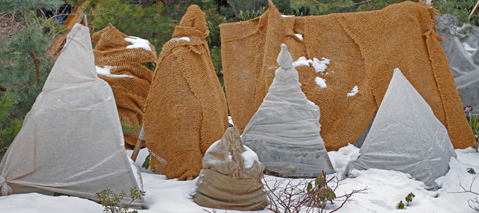 Trees and bushes wrapped in garden fabric in the snow