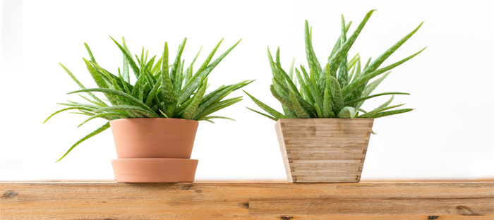Two potted aloe plants on wood shelf