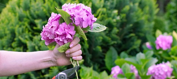 hand holding a purple hydrangea bloom
