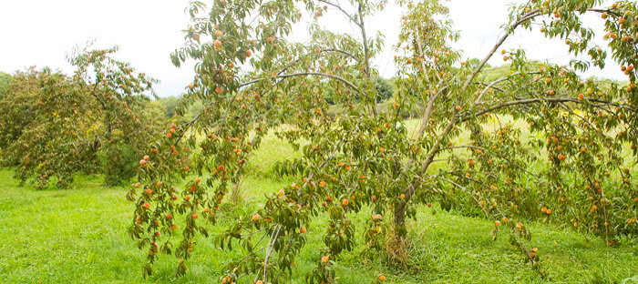 red rareripe peach trees