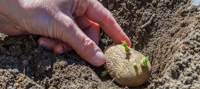 Potato in Soil with Green Buds