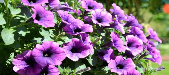 Purple Petunias in Sunlight