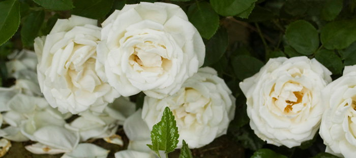 white roses with fallen petals