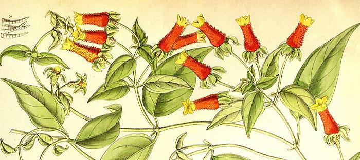 Manettia luteorubra