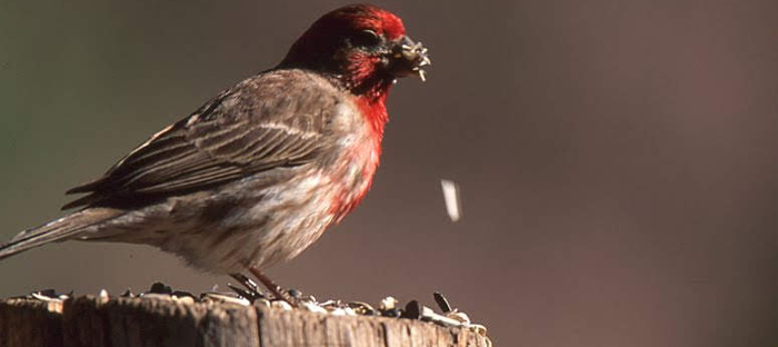 Red and Gray House Finch on Perch