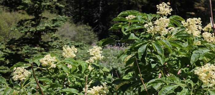 Red Elderberry Blossoms in a field