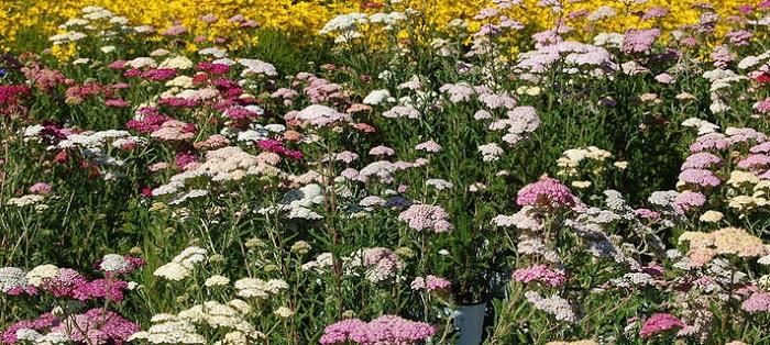 pastel yarrow plants