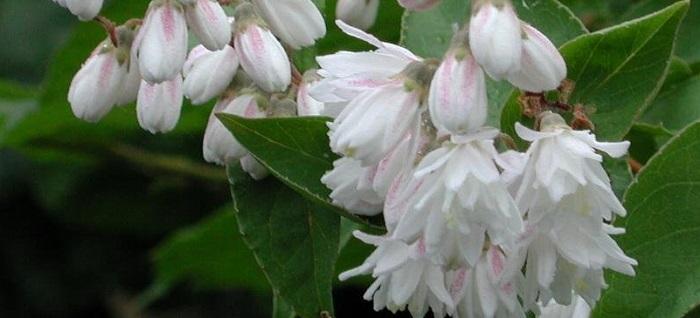 Deutzia scabra white flowers