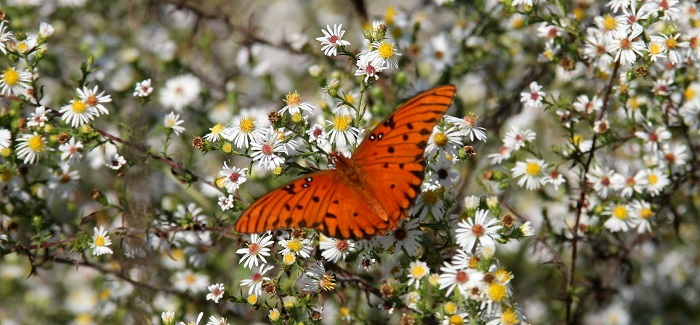 orange butterfly on asters
