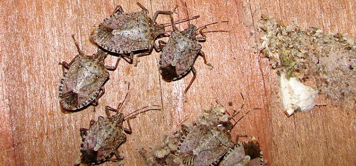 brown marmorated stinkbugs