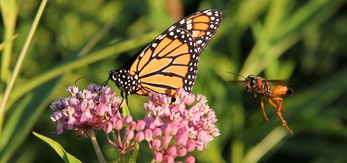 monarch on milkweed with wasp