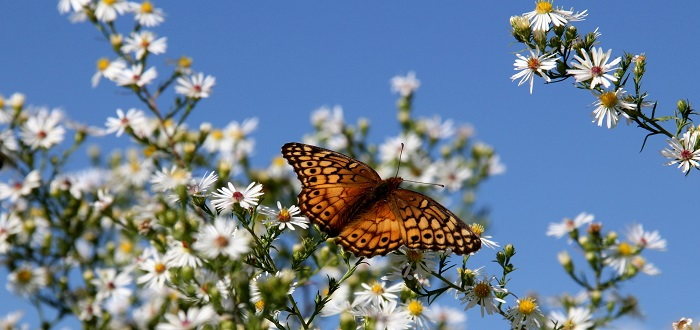 butterfly on downy asters