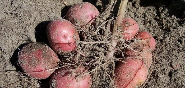 red potatos in the field