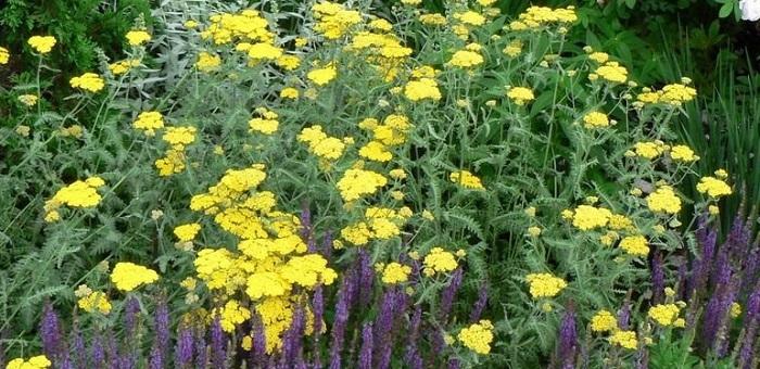 yellow yarrow plantfiles