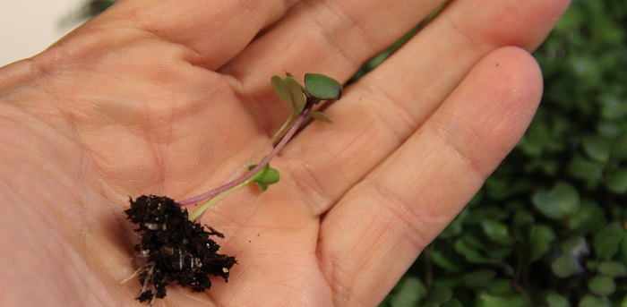 tiny microgreens plant in a hand
