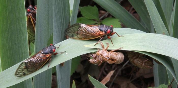 cicadas on a leaf