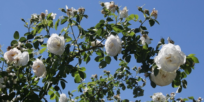 alba roses against a blue sky