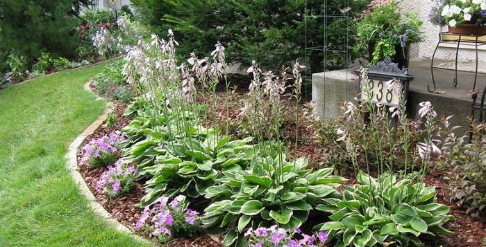 blooming hostas in a garden