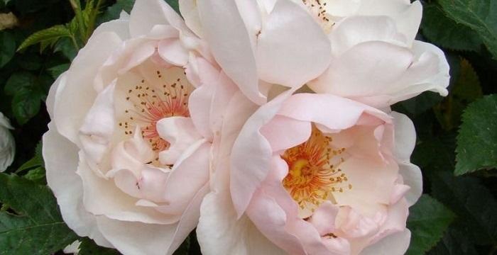 jacqueline du pre rose