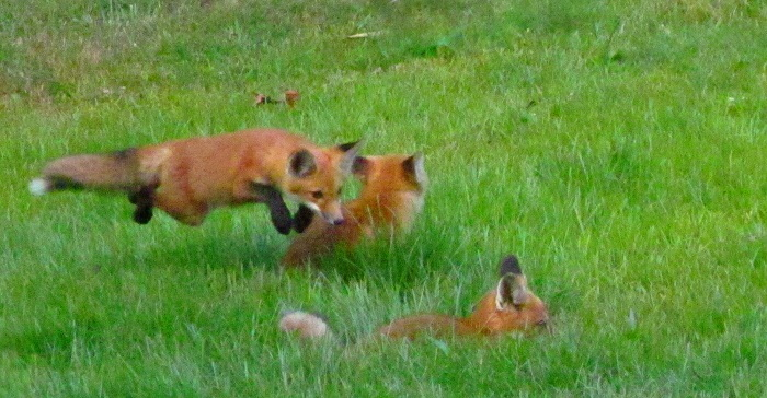 foxes playing in grass
