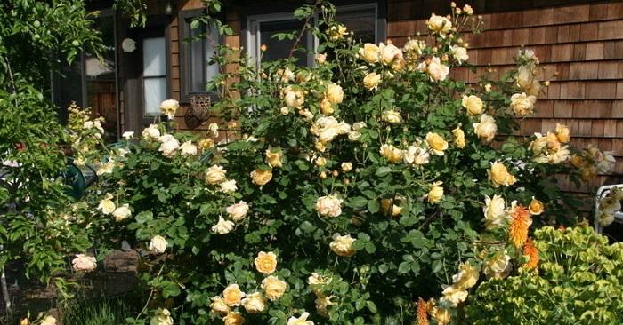 large yellow rose bush