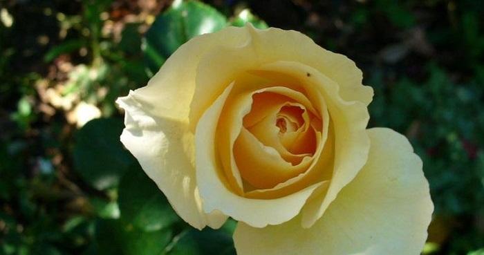Irish Hope rose