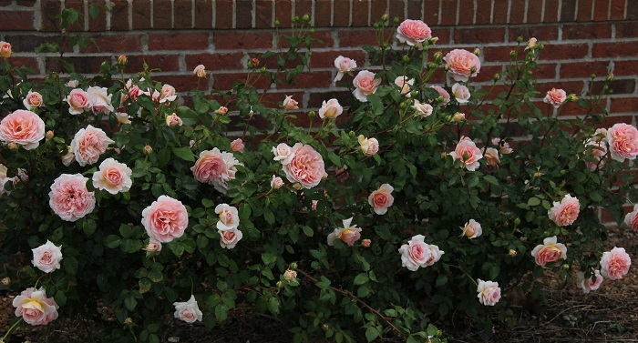 pink roses against a brick wall