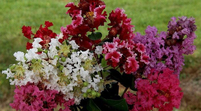 Plant Crepe Myrtles For Stunning Summer Blooms Dave S