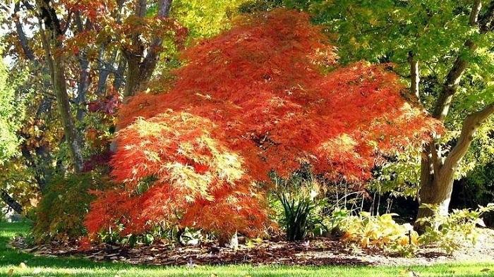 japanese maple plantfiles
