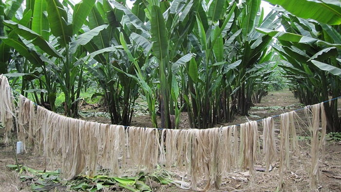 banana plants and drying foliage