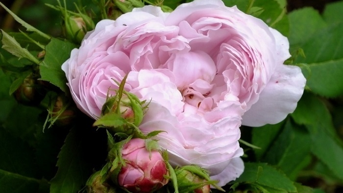 'Marchesa Boccella' rose