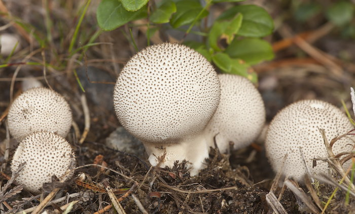 Lycoperdon perlatum, an edible puffball